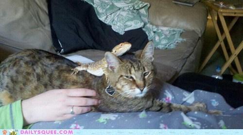 bearded dragon cat cheetah lap lizard pets reader squees - 6037273344