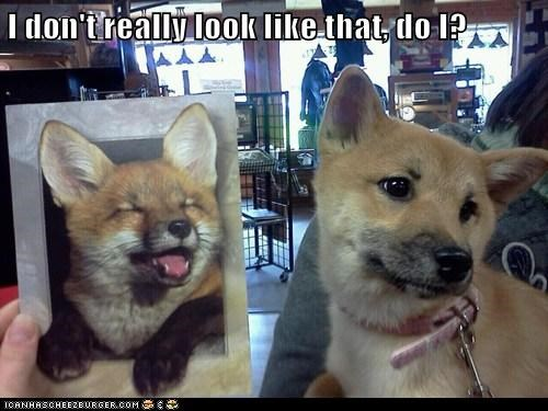 dogs fox look like Other Animals picture - 6037738240