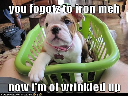bulldog,laundry,puppy,wrinkles