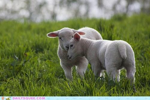 grass headbutt lambs sheep - 6040285696