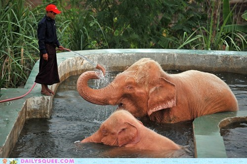 bath,elephants,myanmar,pink,rare,white