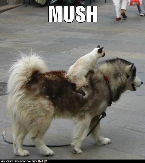 cat cats dogs dogs husky iditarod Interspecies Love lolcat mush race ride riding - 6040957184