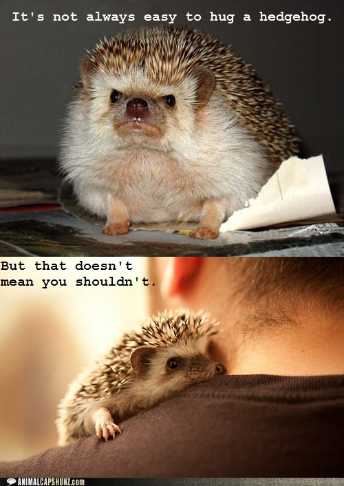 angry face,cute,hedgehogs,hug,not easy,sweet