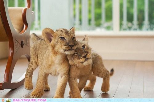 cubs lions rubs siblings sisters