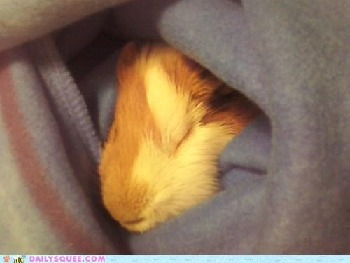 guinea pig,sleep,sleeve,snuggie,snuggle