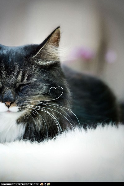 curled cyoot kitteh of teh day heart hearts sweet whiskers - 6046043392