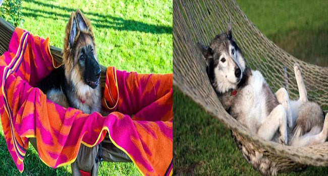relaxing cute dogs chilling cute funny dogs lol hammocks funny - 6048773
