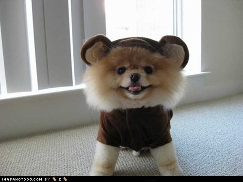 bear cyoot puppy ob teh day pomeranian - 6049219072
