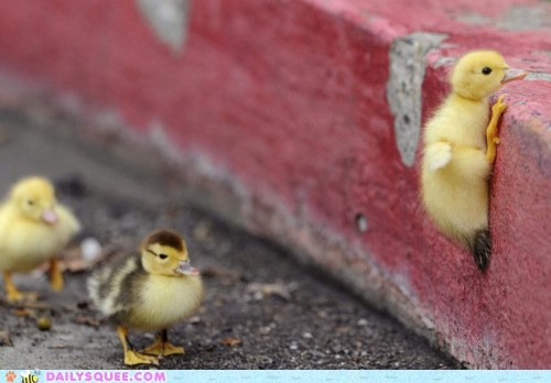 climb,curb,duckies,ducklings