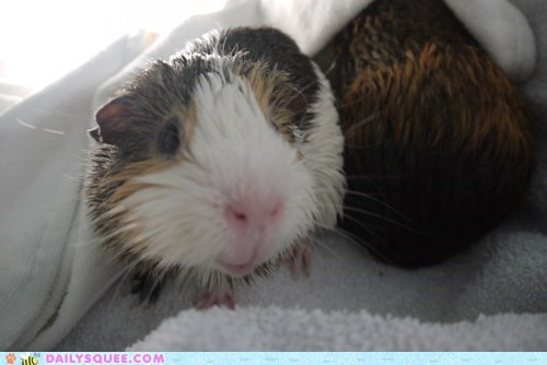 bath bathing clean guinea pig guinea pigs reader squees wet - 6056265216