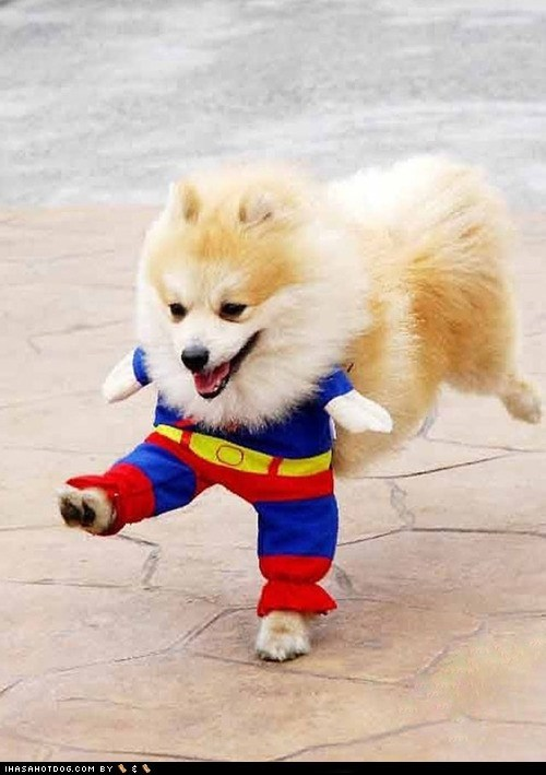 costume dogs pomeranian Super Man