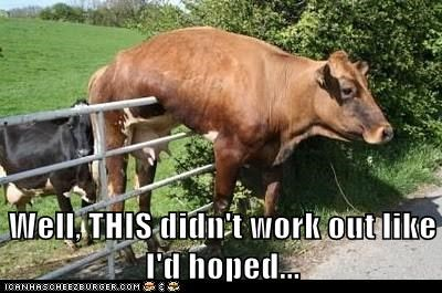 best of the week cows embarrassing FAIL fence Hall of Fame hope oops Sad stuck - 6061364992