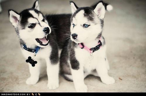 cyoot puppy ob teh day huskie puppy - 6061412864
