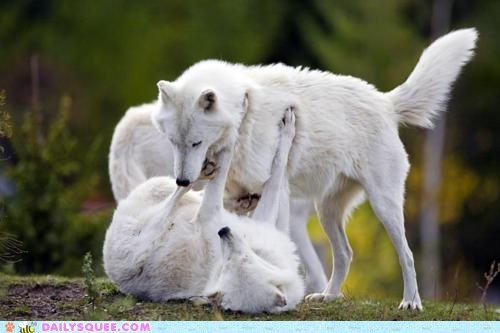 dogs dominant play white wolves wrestle - 6061587456