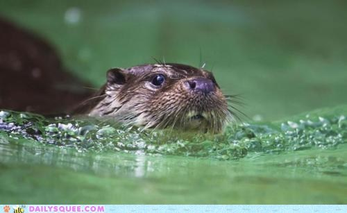 nose,river otter,squee spree,swim,water