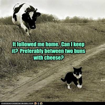 Cats cheeseburger cows - 6064479232