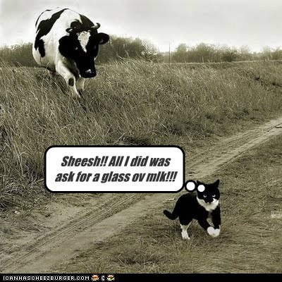 angry ask cat chasing cow milk offensive sheesh - 6064998400