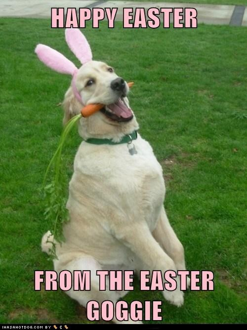 best of the week bunnies carrots costume dogs easter Easter Bunny golden retriever Hall of Fame holidays - 6065925888