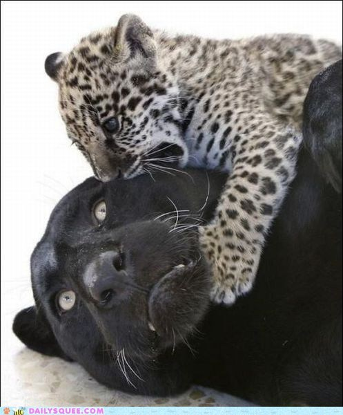 jaguar mom mothers day panther - 6066278144