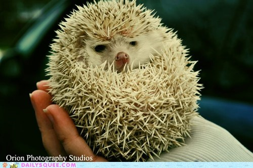 hedgehog,prickly,squee