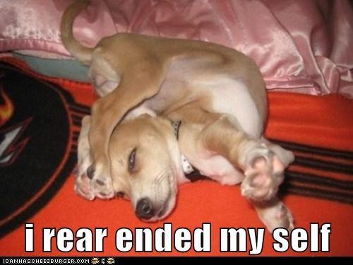 chihuahua puppy - 6066944000