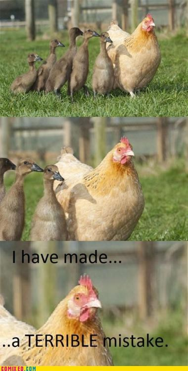 animals,chicken,ducks,mistake,the internets