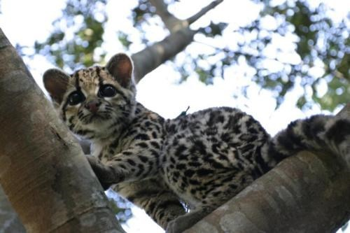big cats Cats climbing Fluffy ocelot spots cute - 6074379264