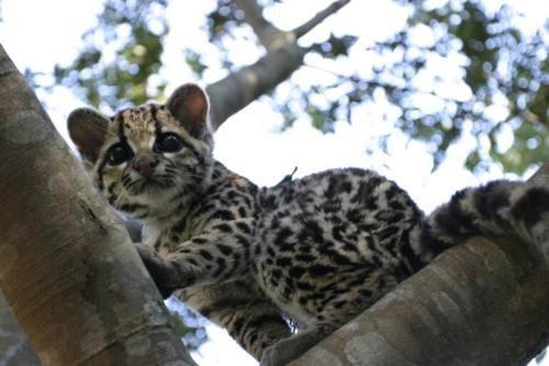 big cats Cats climbing Fluffy ocelot spots cute - 6074379264