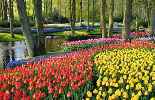 Hall of Fame holland park tulips - 6074424576