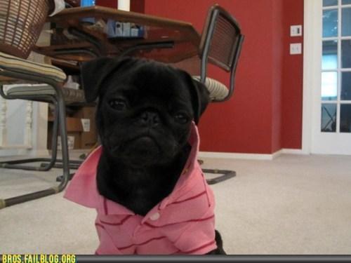 animal bros g rated Hall of Fame polo popped collar pug shirt - 6074502400