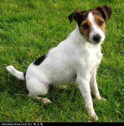 face off goggie ob teh week jack russel terrier - 6074781696