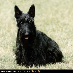 face off goggie ob teh week scottish terrier