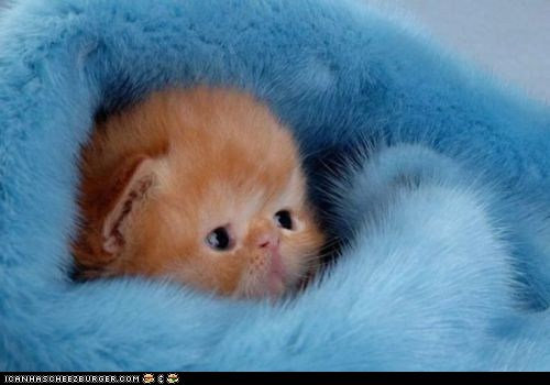 blankets,blue,Cats,cyoot kitteh of teh day,furry,fuzzy,tiny,warm