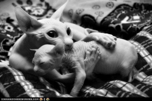 Cats,cuddles,cuddling,cyoot kitteh of teh day,family,hairless,mom,moms,nekkid,two cats