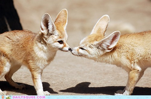 ears fennec fox KISS noses sniff squee spree - 6078769408