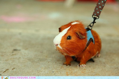 guinea pig,harness,leash,vest,walk