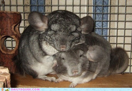 chinchillas Fluffy fuzzy snuggle - 6079006720