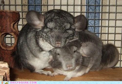 chinchillas Fluffy fuzzy snuggle - 6079006720