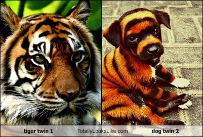 tiger twin 1 Totally Looks Like dog twin 2
