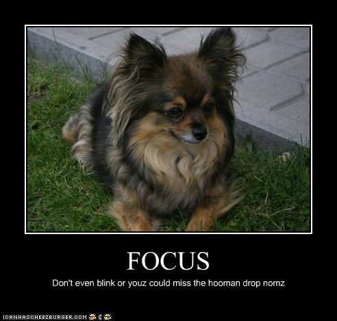 dogs focus motivational papillon - 6085212928