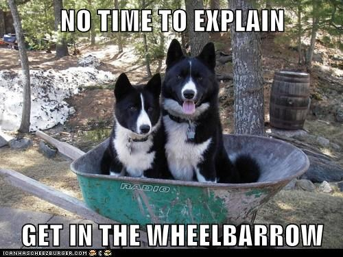 dogs karelian bear dog no time to explain what breed wheel barrow