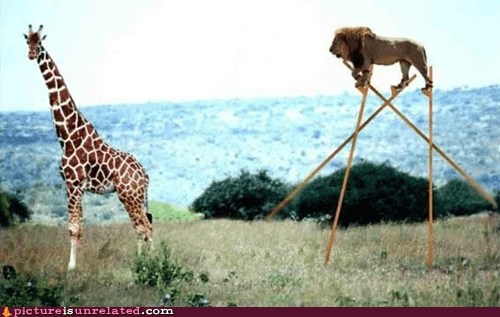 best of week,evolution,giraffes,lions,stilts,wtf