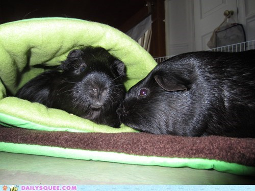 guinea pigs,Harry Potter,pets,reader squees,sack