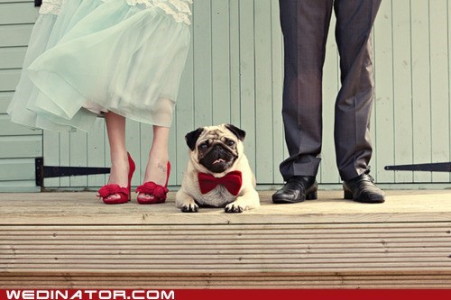bowtie,cute,dogs,feet,funny wedding photos,Hall of Fame,pose,pug