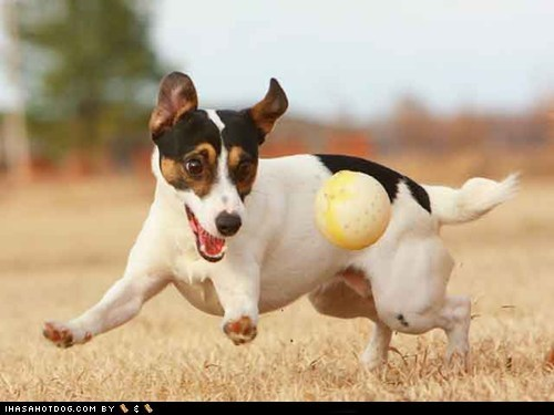 ball dogs goggie ob teh week jack russel terrier - 6090621696