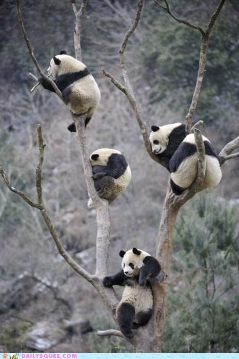 bears,climb,flowers,panda,panda bears,squee,tree,trees