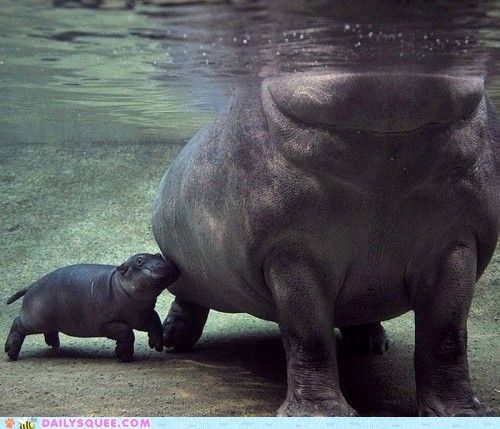 baby bump family hippo hippopotamus hippos mom moms swim water