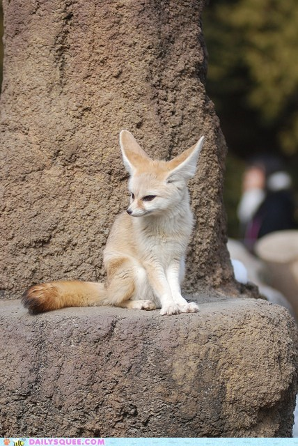 ears fennec fox gossip hearing squee spree - 6091375360