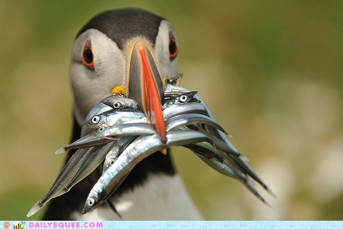 beak bird fish food puffin