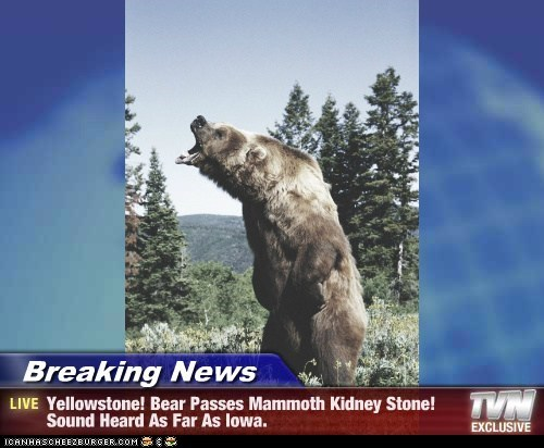Breaking News - Yellowstone! Bear Passes Mammoth Kidney Stone! Sound Heard As Far As Iowa.